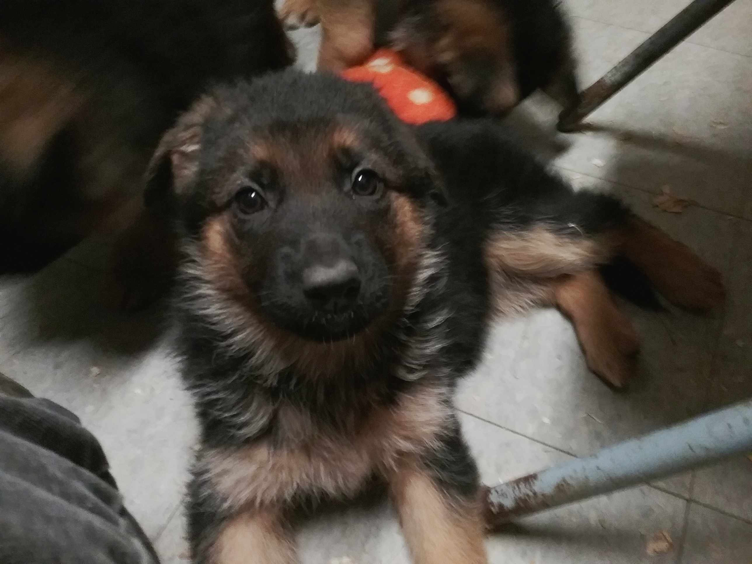 button eye female pup